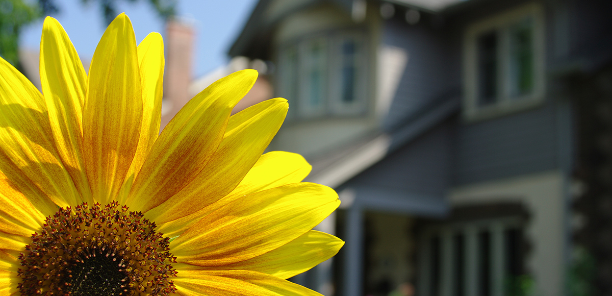Sunflower in front of house